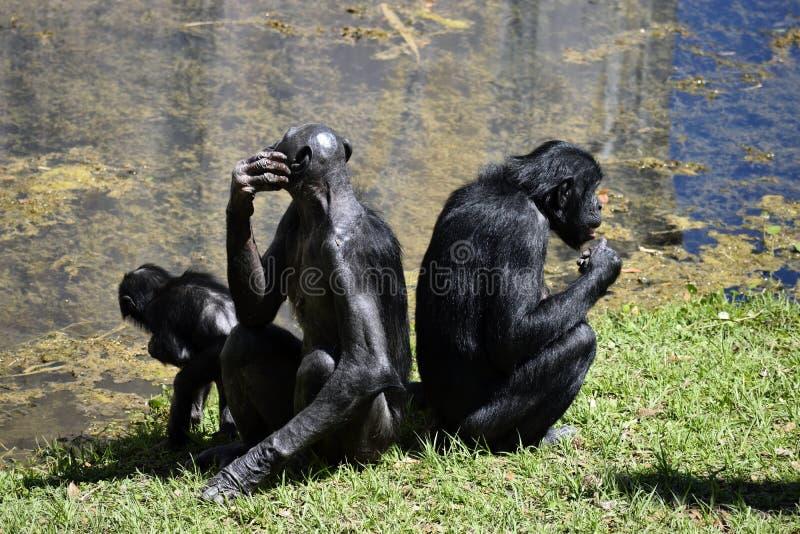 Bonoboapen royalty-vrije stock foto's