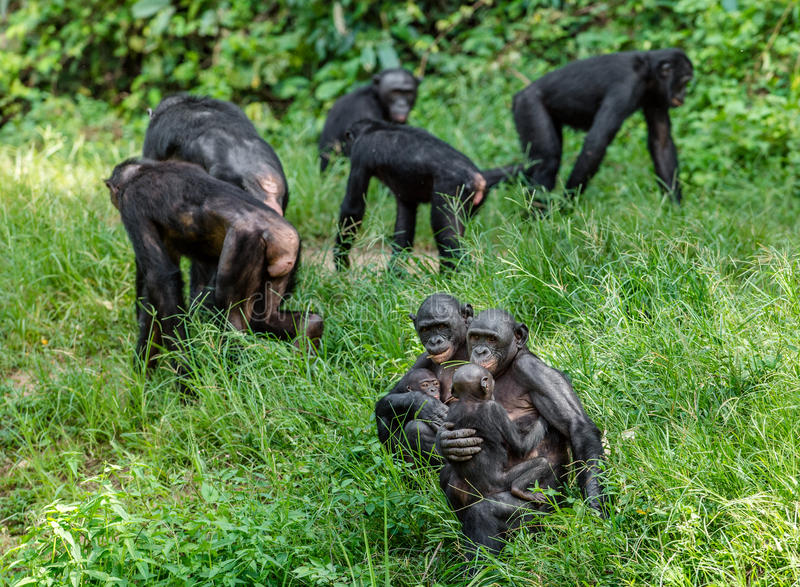 Download Bonobos On Green Natural Background. Stock Photo - Image: 83715014