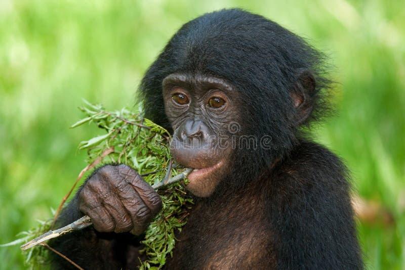Bonobos mangeant le bambou Le Republic Of The Congo Democratic Parc national de BONOBO de Lola Ya photos stock