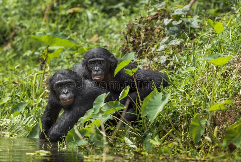 Bonobos (niecka Paniscus) na zielonym naturalnym tle zdjęcia stock