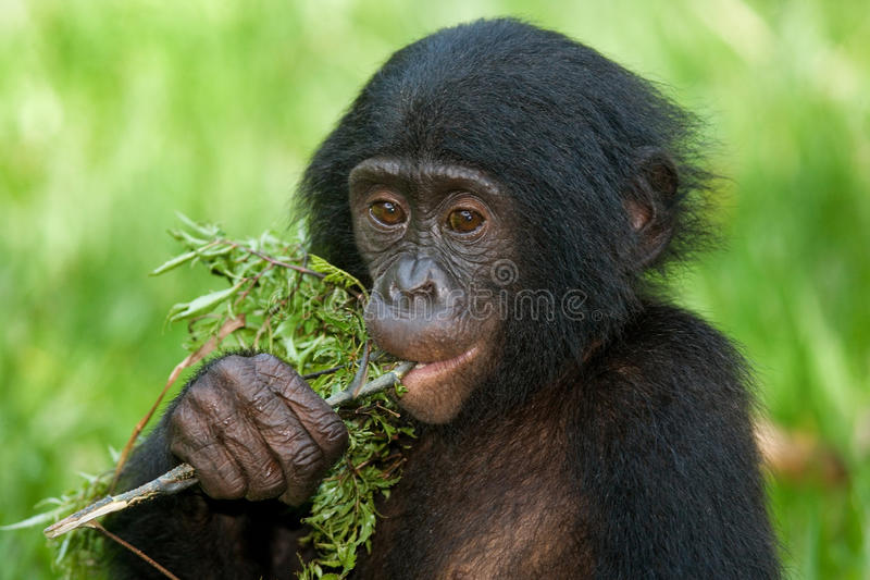 Bonobos som äter bambu congo demokratisk republik Lola Ya BONOBOnationalpark arkivfoton