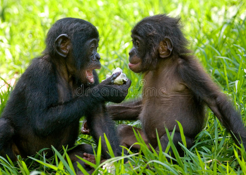 Bonobos som äter bambu congo demokratisk republik Lola Ya BONOBOnationalpark royaltyfria foton