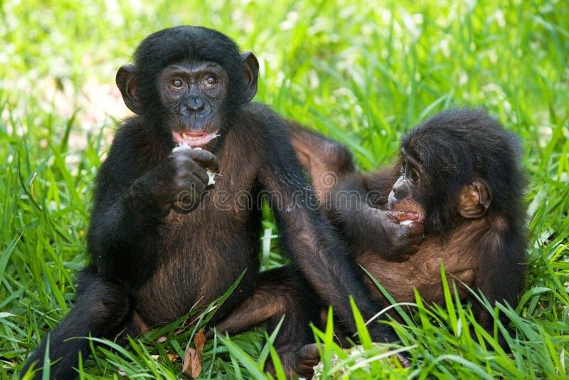 Bonobos som äter bambu congo demokratisk republik Lola Ya BONOBOnationalpark fotografering för bildbyråer