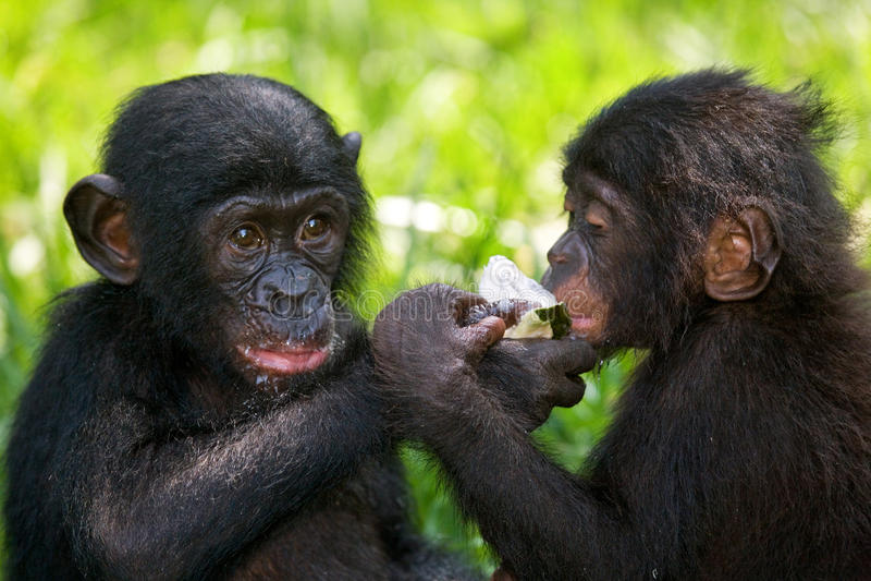 Bonobos som äter bambu congo demokratisk republik Lola Ya BONOBOnationalpark royaltyfria bilder