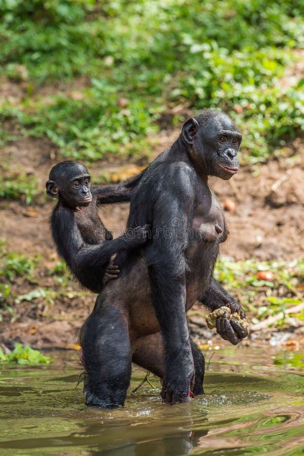 Bonobowelp op de moeder ` s terug in het water stock afbeelding
