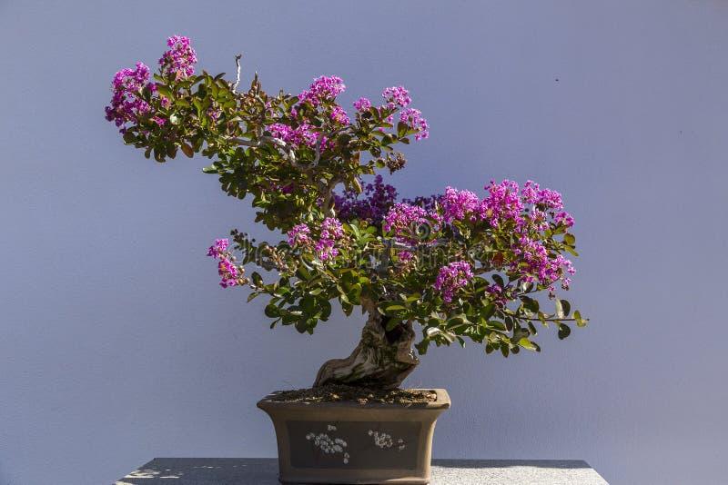 Bonsaïs succulents élégants avec les fleurs roses de floraison dans le pot d'argile brun images stock