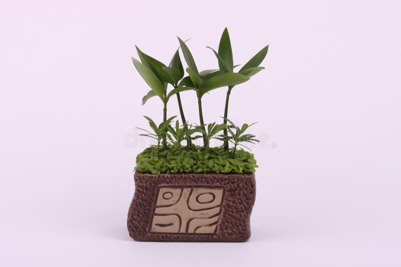 Bonsai stock afbeeldingen
