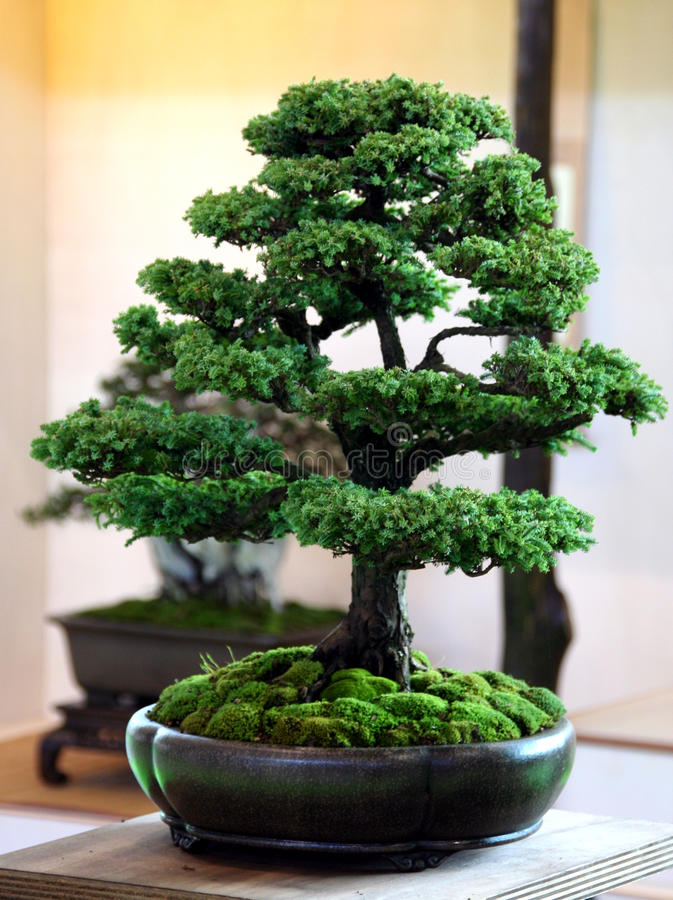 Free Bonsai Royalty Free Stock Images - 13370809