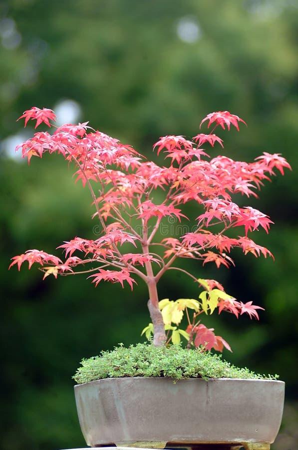 Download Bonsai Stock Photo - Image: 1377710