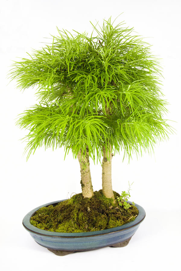 Free Bonsai Royalty Free Stock Image - 14603936
