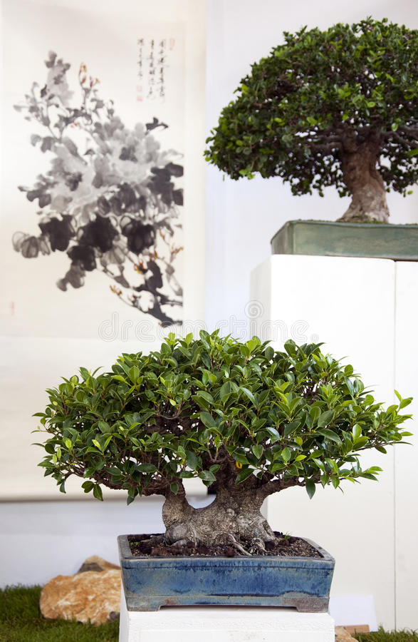 Free Bonsai Stock Photography - 15685732