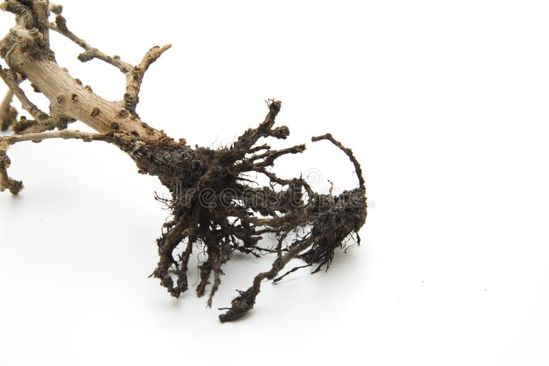 Download Bonsai stock photo. Image of tribe, root, wood, tree - 17610486