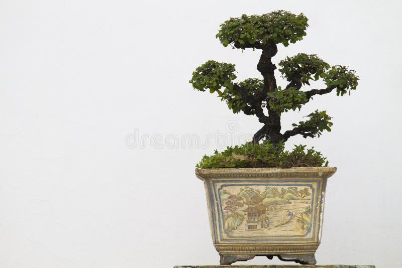 Bonsai fotografia stock libera da diritti