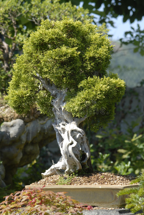 Download Bonsai stock image. Image of dwarf, chinese, hobby, floral - 20222709