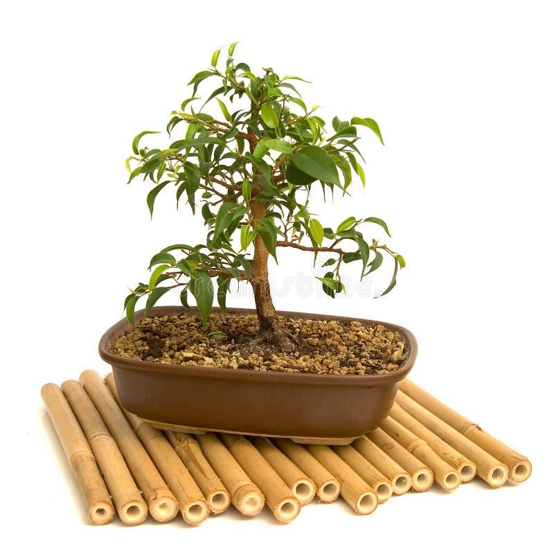 Download Bonsai Stock Photos - Image: 2305993