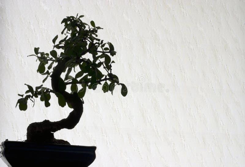 Download Bonsai Royalty Free Stock Photos - Image: 2437648