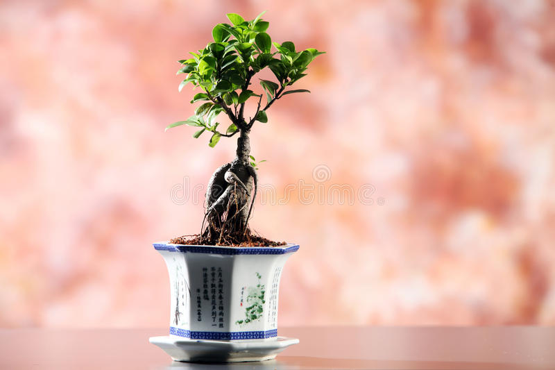 Download Bonsai stock photo. Image of background, holding, tree - 24809608