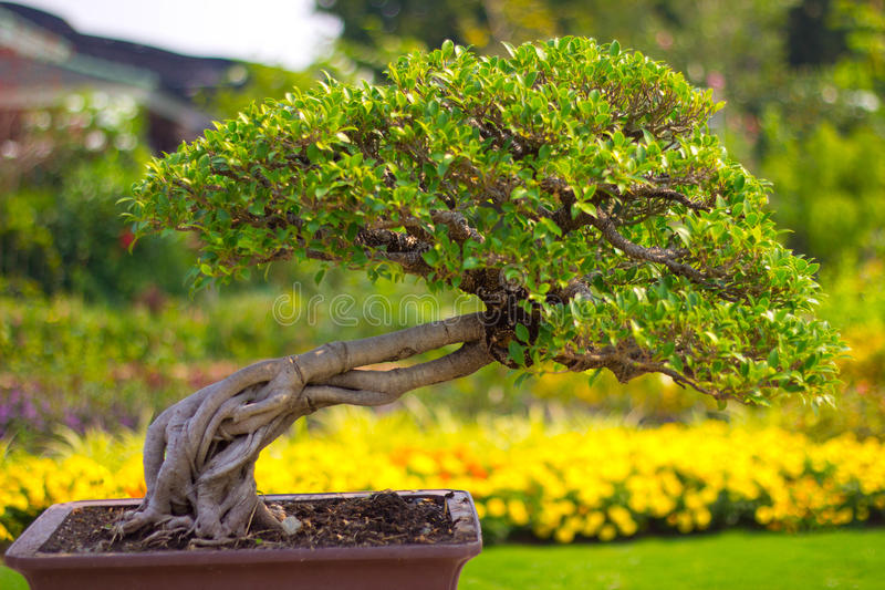 Download Bonsai stock image. Image of chinese, grow, background - 29277483