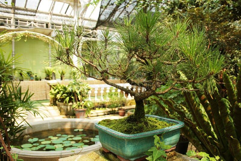 Bonsai stock foto's