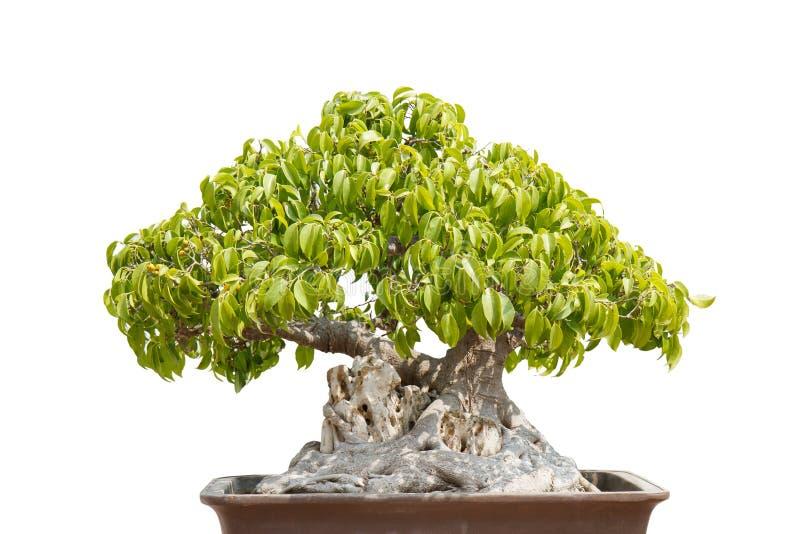 Bonsai immagini stock libere da diritti