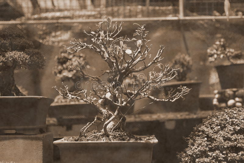 Bonsai stock fotografie