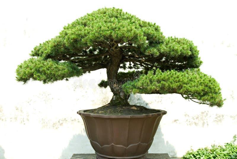 Download Bonsai stock image. Image of summer, pine, umbrella, century - 5685283
