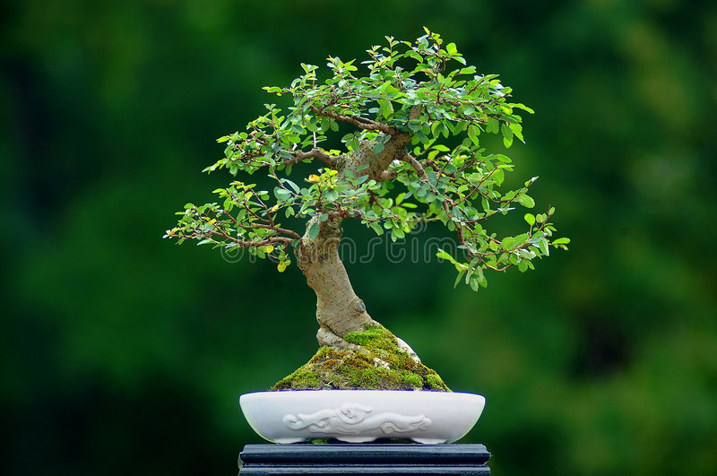 Bonsai. Tree in a pot