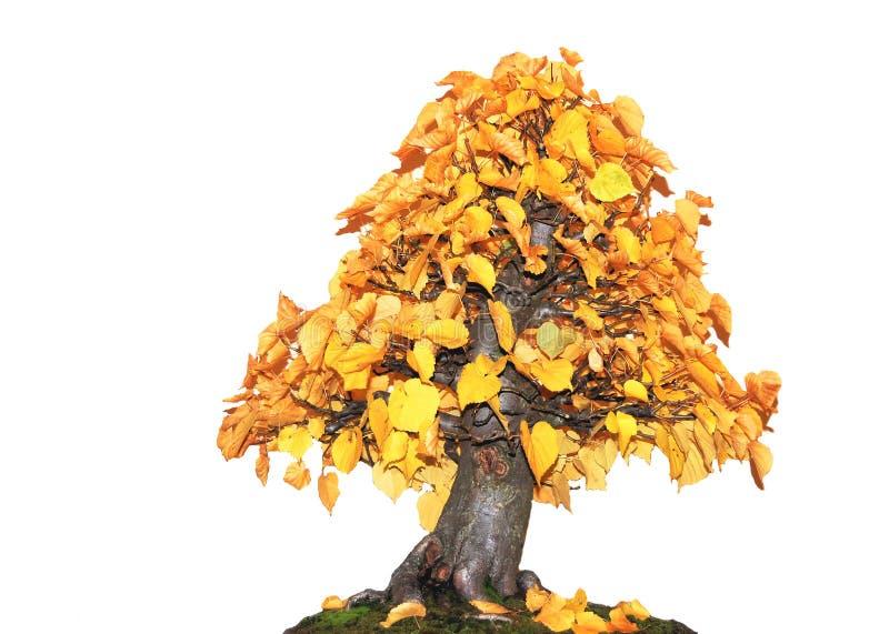 bonsai arkivbilder