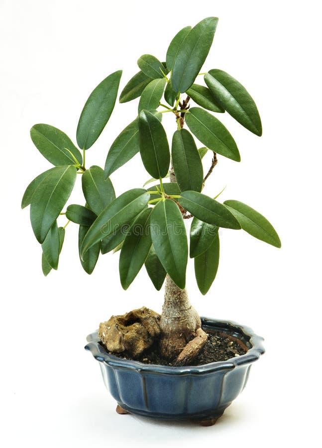 Bonsai Royalty-vrije Stock Fotografie