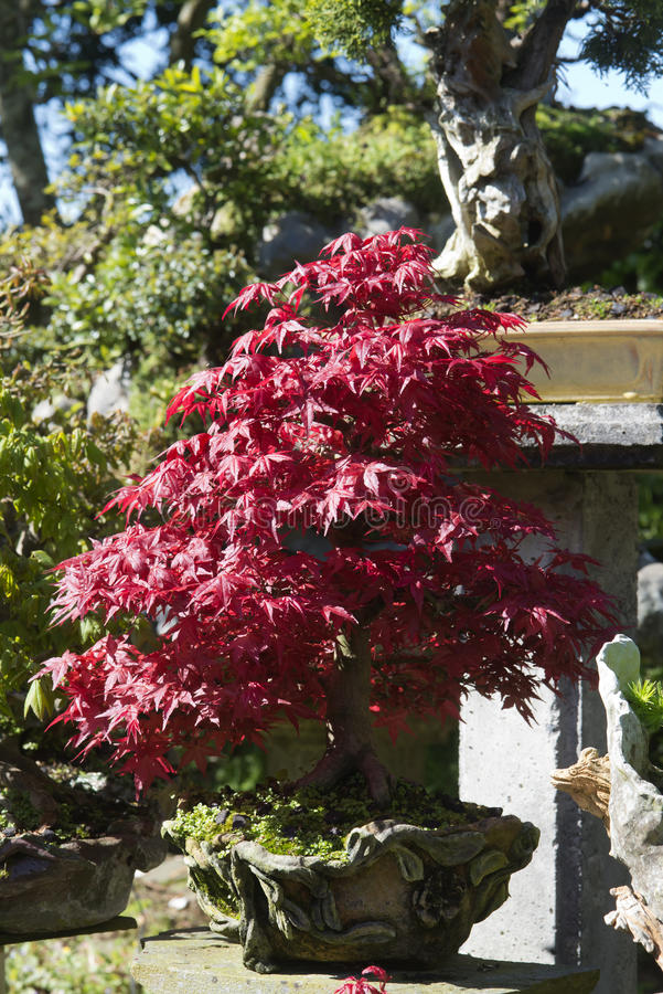 Bonsai Acer Palmatum, red maple. In pot handmade stock photo