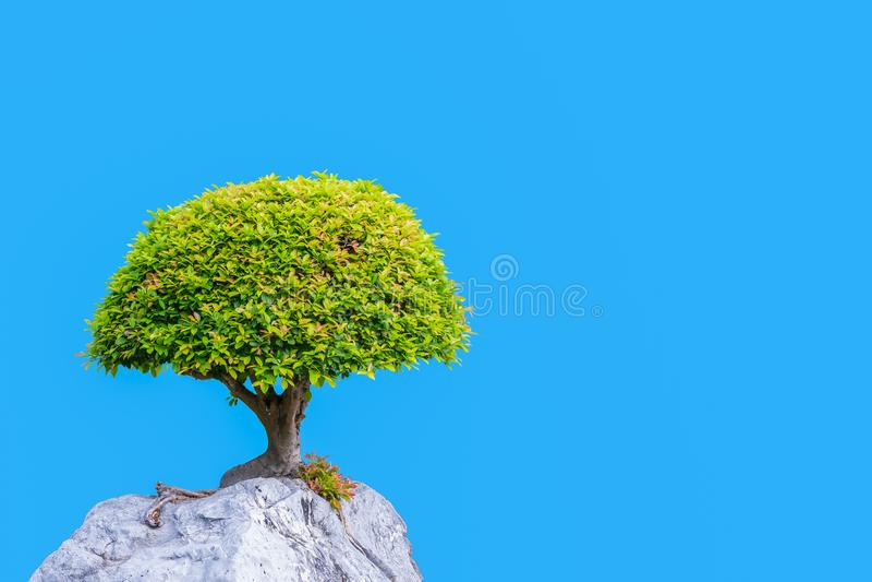 Bonsai banyan tree growing on the white rock stock image