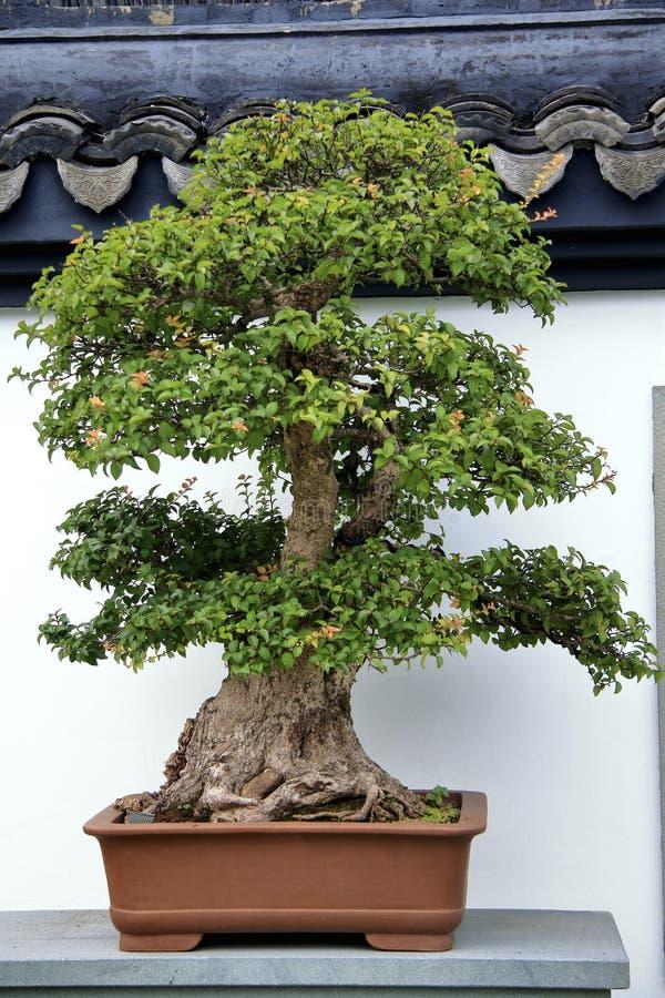 Bonsai, basenowy naturalny krajobrazowy sztuka występ fotografia stock