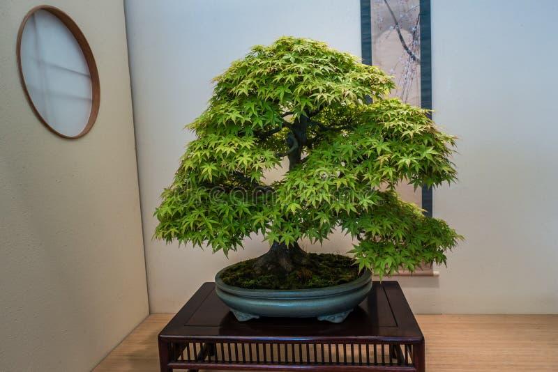 Bonsai-Baum im Pflanzer lizenzfreies stockfoto