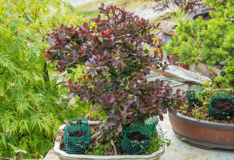 Bonsai berberysowy ciemnopąsowy pigmej Berberis Thunbergii drzewo obraz stock