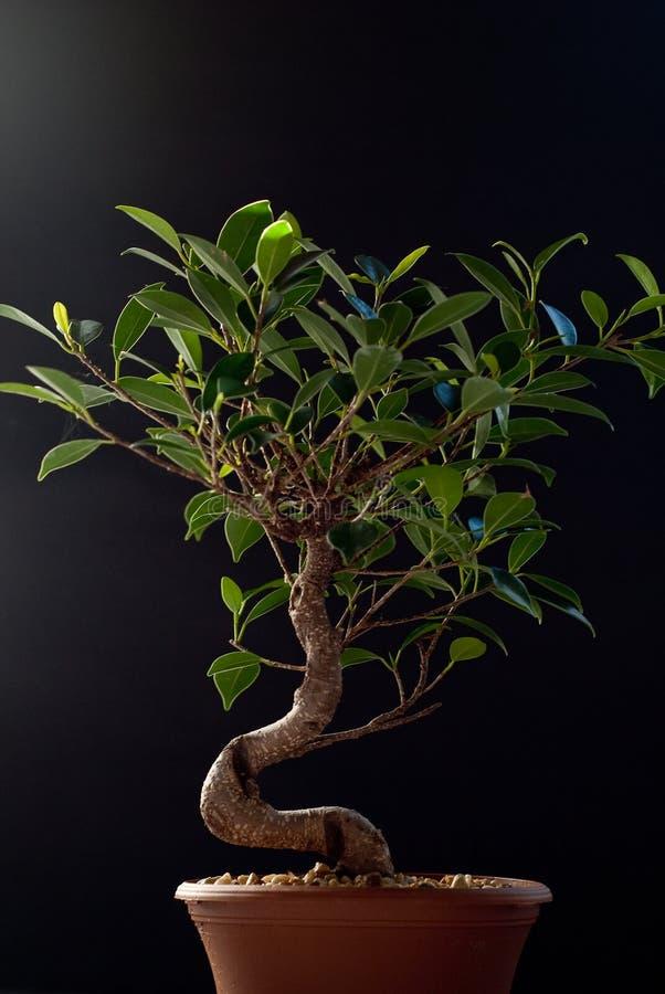 Download Bonsai on Black stock image. Image of tree, lifestyle - 12492735