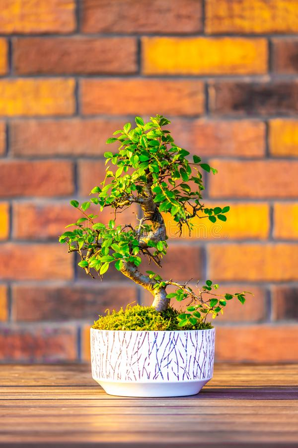 Bonsai carpinus tree in the white pot is placed on brown brick background. Small zen tree with green leaves and twisted trunk. stock photos