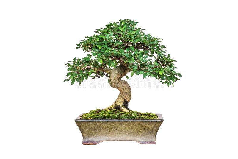 Bonsai royalty free stock photo