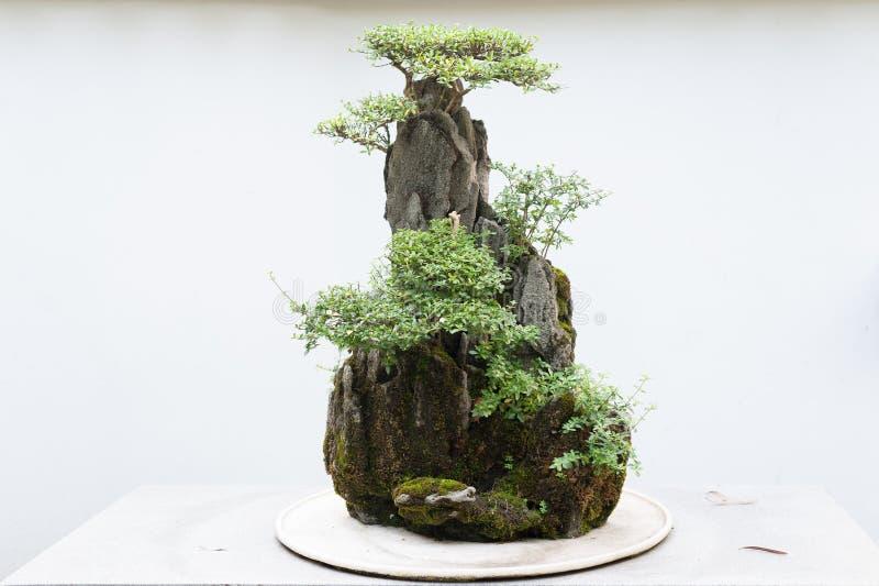 Bonsai con la parete bianca immagini stock libere da diritti