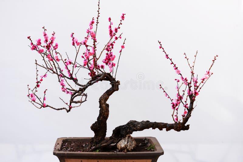 Bonsai del fiore della prugna di Kunming il Yunnan immagine stock libera da diritti