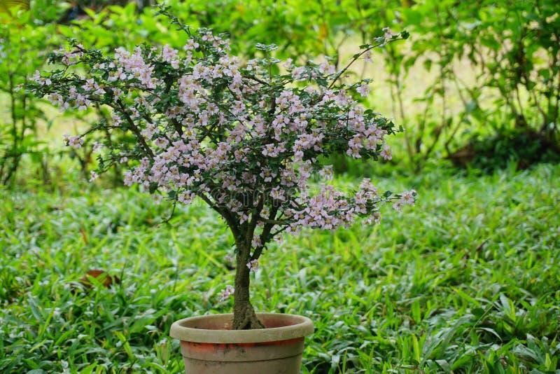 Bonsai del fiore di ciliegia fotografia stock
