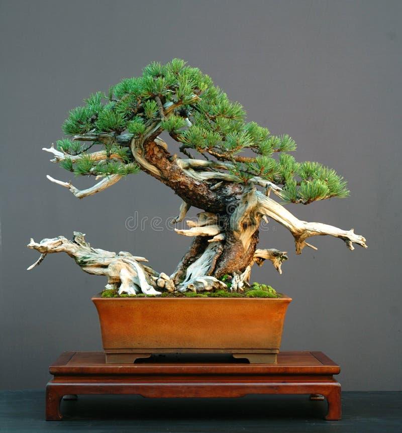 Bonsai del pino di Mugo fotografia stock