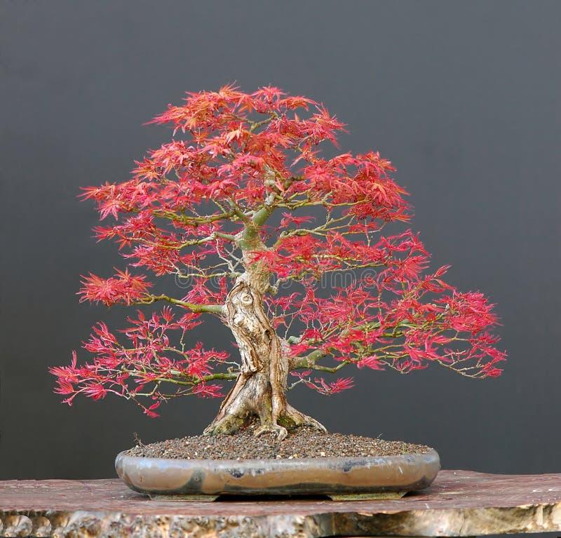 Bonsai dell'acero giapponese immagine stock libera da diritti