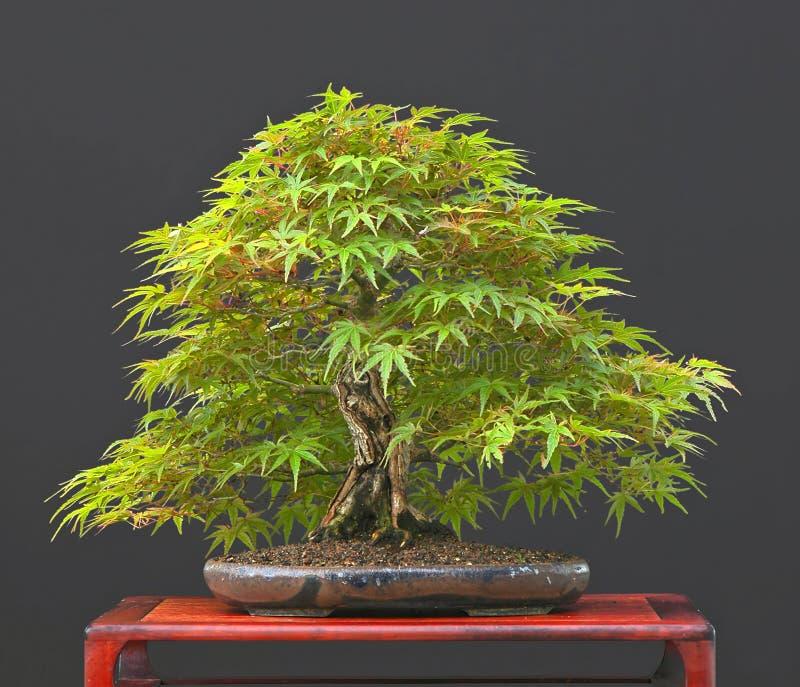 Bonsai dell'acero giapponese nel summe immagini stock libere da diritti
