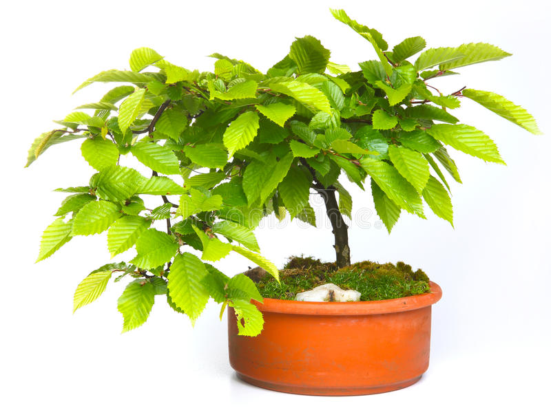 Bonsai dell'albero di faggio immagine stock libera da diritti