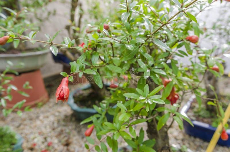 Bonsai della punica granatum in fiore Frutti rossi fotografie stock