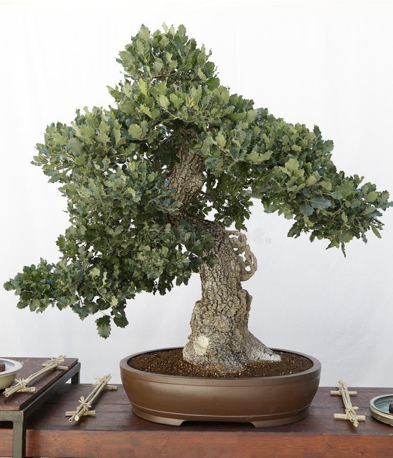Bonsai della quercia (quercus) fotografia stock libera da diritti