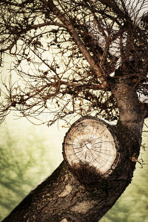 Free Bonsai Detail On The Cut-off Twig Royalty Free Stock Photography - 110143467