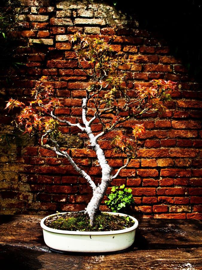 Bonsai di palmatum di Acer fotografie stock