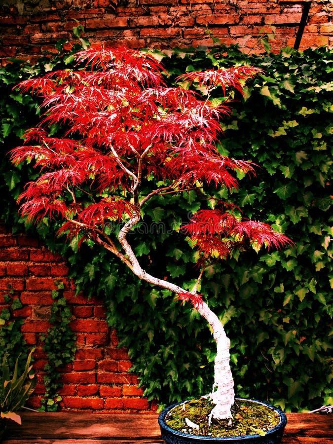 Bonsai di purpureum di Acer immagini stock libere da diritti