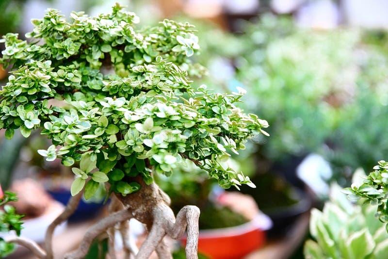 Bonsai, die grote boom in pot planten royalty-vrije stock afbeelding
